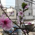 桃の花03