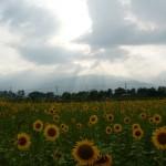 ひまわり畑と安曇野の山々